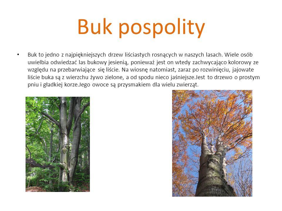 Buk pospolity Buk to jedno z najpiękniejszych drzew liściastych rosnących w naszych lasach. Wiele osób uwielbia odwiedzać las bukowy jesienią, poniewa