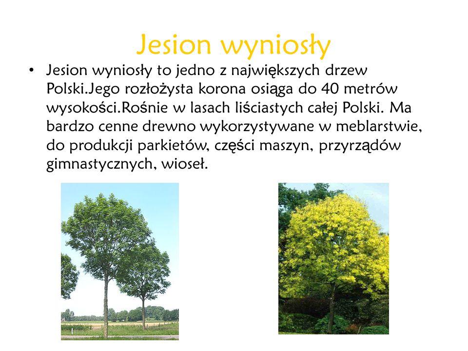Jesion wyniosły Jesion wyniosły to jedno z najwi ę kszych drzew Polski.Jego rozło ż ysta korona osi ą ga do 40 metrów wysoko ś ci.Ro ś nie w lasach li