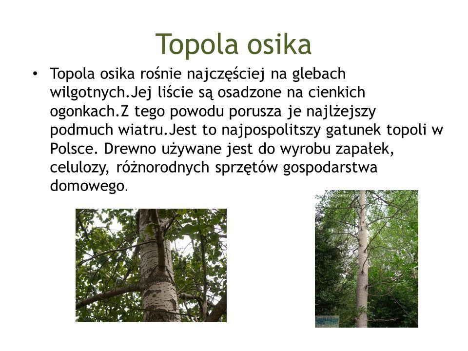 Topola osika Topola osika rośnie najczęściej na glebach wilgotnych.Jej liście są osadzone na cienkich ogonkach.Z tego powodu porusza je najlżejszy pod