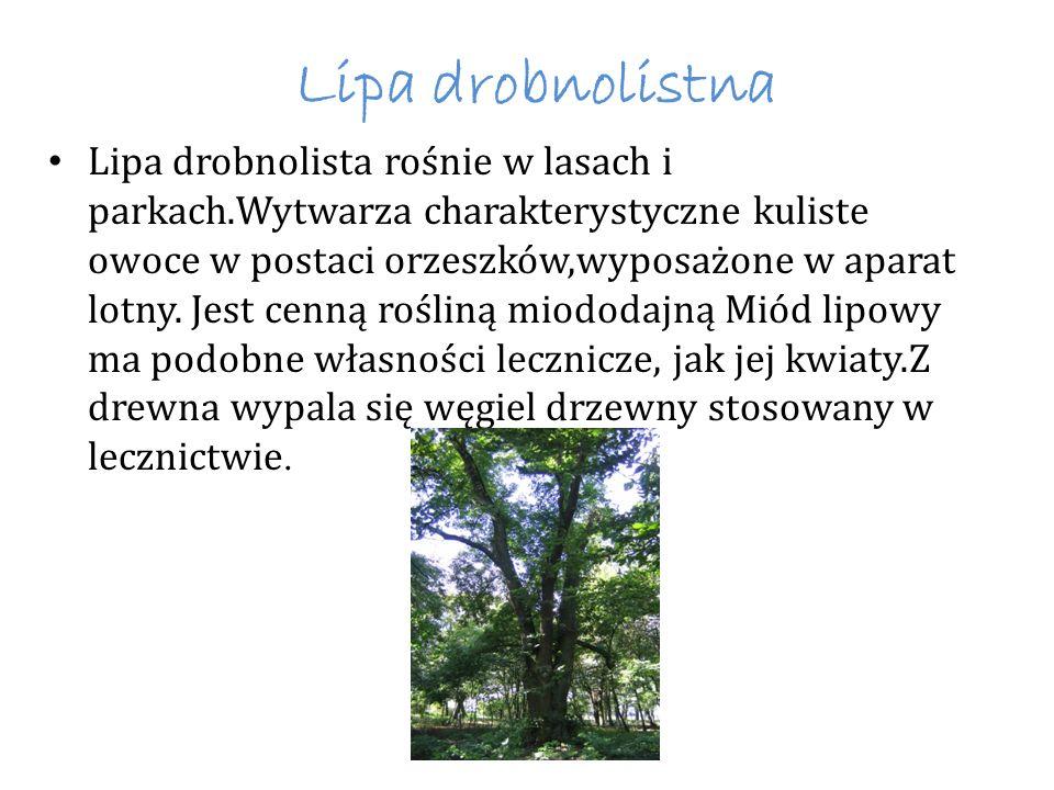Lipa drobnolistna Lipa drobnolista rośnie w lasach i parkach.Wytwarza charakterystyczne kuliste owoce w postaci orzeszków,wyposażone w aparat lotny. J