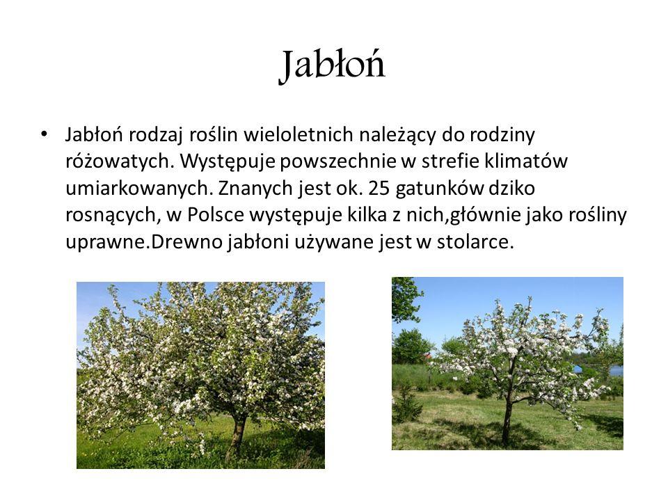 Jab ł o ń Jabłoń rodzaj roślin wieloletnich należący do rodziny różowatych. Występuje powszechnie w strefie klimatów umiarkowanych. Znanych jest ok. 2