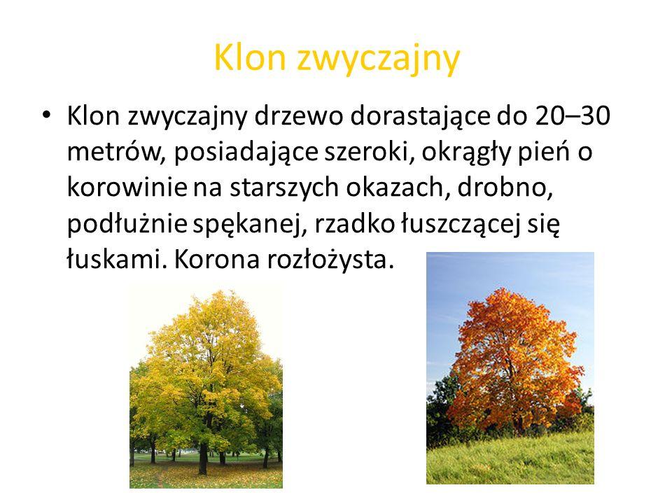 Klon zwyczajny Klon zwyczajny drzewo dorastające do 20–30 metrów, posiadające szeroki, okrągły pień o korowinie na starszych okazach, drobno, podłużni