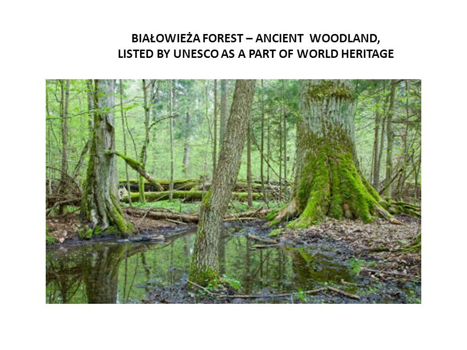 BIAŁOWIEŻA FOREST – ANCIENT WOODLAND, LISTED BY UNESCO AS A PART OF WORLD HERITAGE