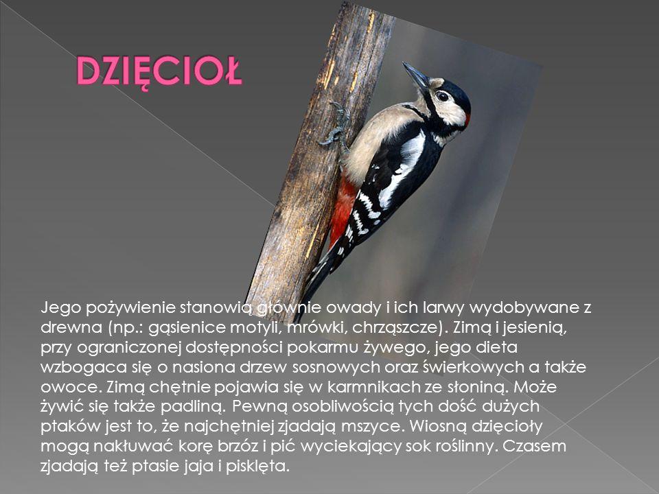 Jego pożywienie stanowią głównie owady i ich larwy wydobywane z drewna (np.: gąsienice motyli, mrówki, chrząszcze). Zimą i jesienią, przy ograniczonej