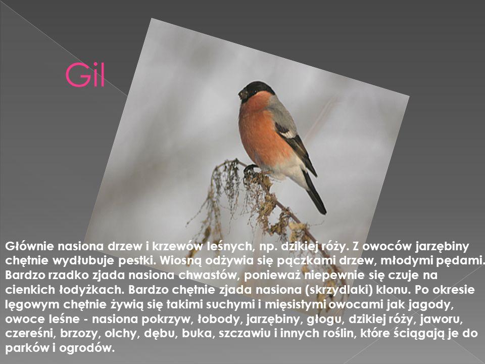 Gil Głównie nasiona drzew i krzewów leśnych, np. dzikiej róży. Z owoców jarzębiny chętnie wydłubuje pestki. Wiosną odżywia się pączkami drzew, młodymi