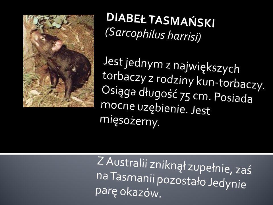 KANGUR OLBRZYMI CZERWONY (Macropus rufus) Jest największym kangurem. Długość 2,4 m. Reprezentanci tego gatunku zamieszkują obszar całej Australii. Każ