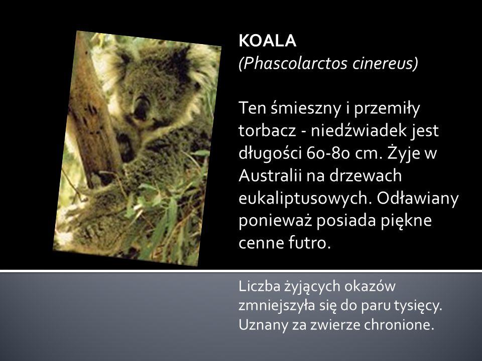 DIABEŁ TASMAŃSKI (Sarcophilus harrisi) Jest jednym z największych torbaczy z rodziny kun-torbaczy. Osiąga długość 75 cm. Posiada mocne uzębienie. Jest