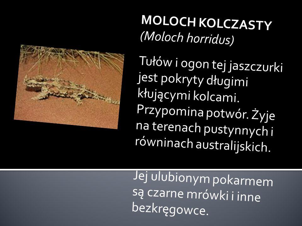 KOALA (Phascolarctos cinereus) Ten śmieszny i przemiły torbacz - niedźwiadek jest długości 60-80 cm. Żyje w Australii na drzewach eukaliptusowych. Odł