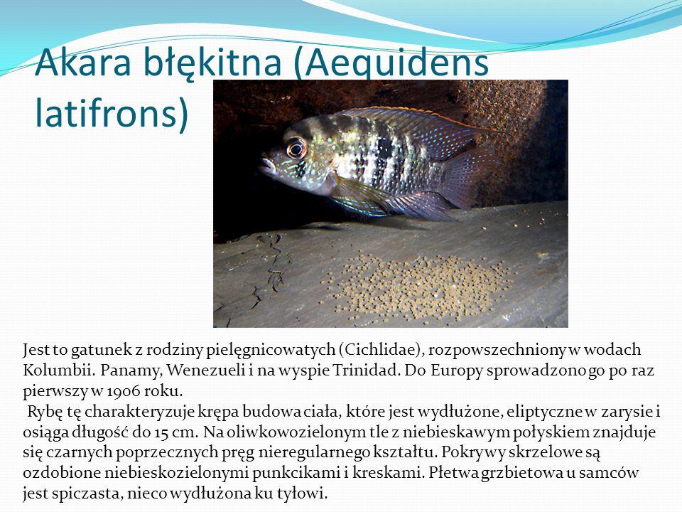 Szczupaczek pręgowany (Aplocheilus lineatus) Ryba ta należy do rodziny karpieńcowatych (Cyprinodontidae) i pochodzi z Półwyspu Indyjskiego i Cejlonu, skąd została sprowadzona po raz pierwszy do Europy w 1909 roku.