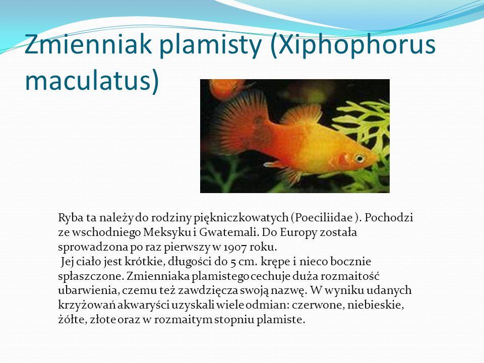 Akara błękitna (Aequidens latifrons) Jest to gatunek z rodziny pielęgnicowatych (Cichlidae), rozpowszechniony w wodach Kolumbii.