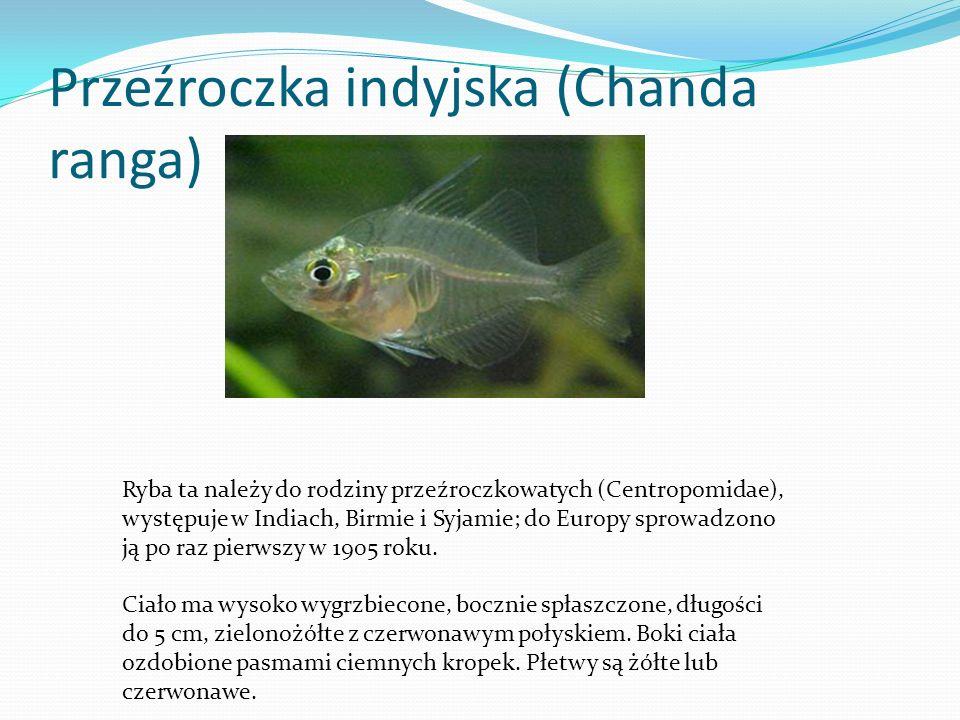 Brzanka pięciopręga (Barbus pentazona pentazona) Ryba ta należy do rodziny karpiowatych (Cyprinidae); występuje na Półwyspie Malajskim oraz Archipelagu Malajskim (Sumatra i Borneo).