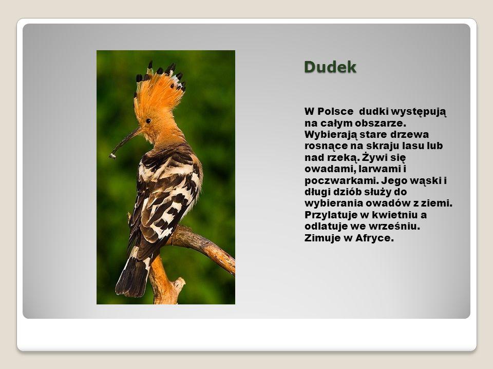 Dudek W Polsce dudki występują na całym obszarze. Wybierają stare drzewa rosnące na skraju lasu lub nad rzeką. Żywi się owadami, larwami i poczwarkami