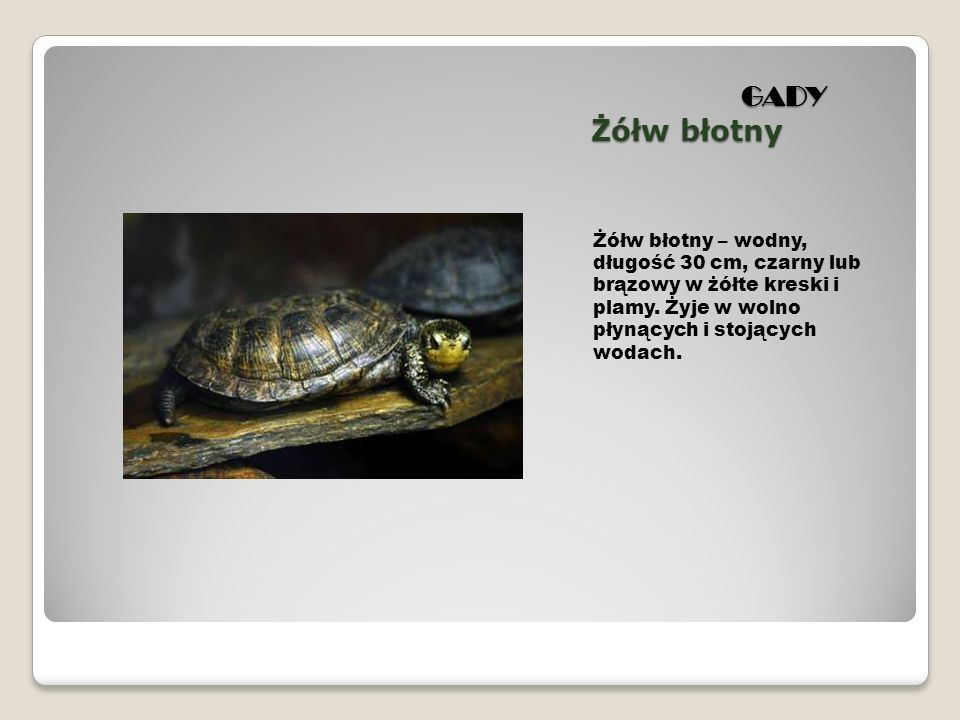 GADY Żółw błotny GADY Żółw błotny Żółw błotny – wodny, długość 30 cm, czarny lub brązowy w żółte kreski i plamy. Żyje w wolno płynących i stojących wo