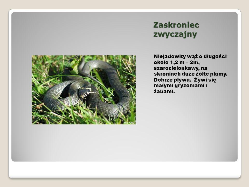 Zaskroniec zwyczajny Niejadowity wąż o długości około 1,2 m – 2m, szarozielonkawy, na skroniach duże żółte plamy. Dobrze pływa. Żywi się małymi gryzon