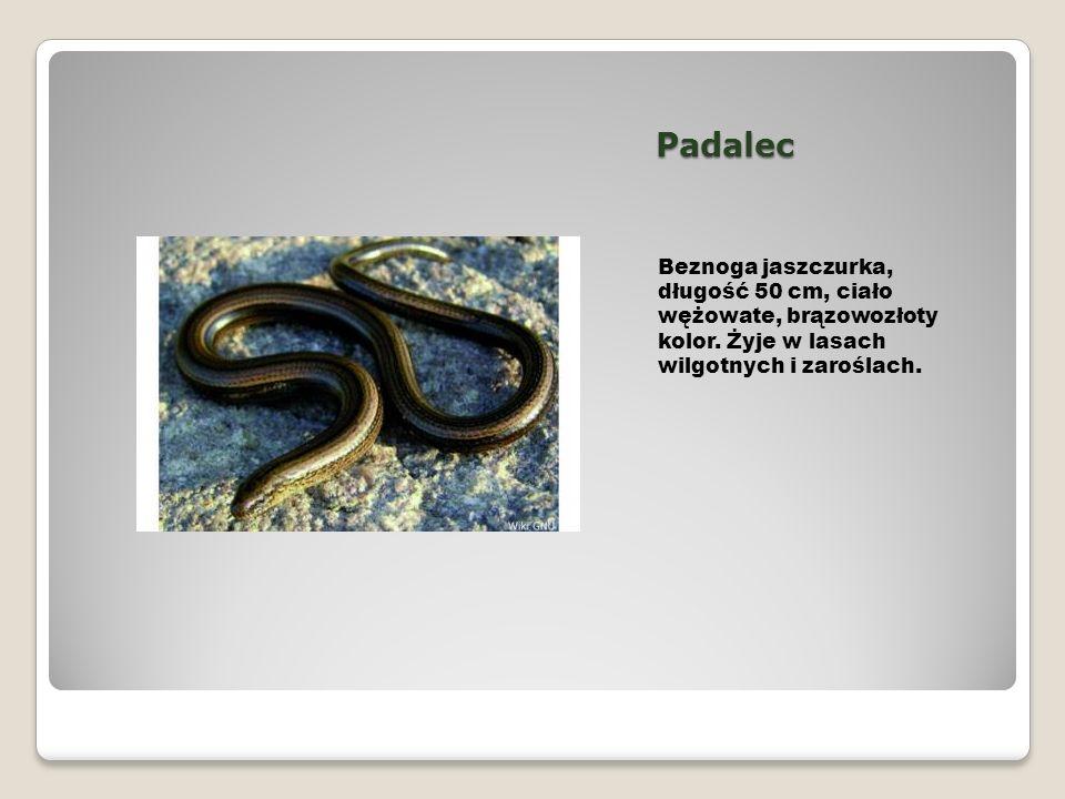 Padalec Beznoga jaszczurka, długość 50 cm, ciało wężowate, brązowozłoty kolor. Żyje w lasach wilgotnych i zaroślach.