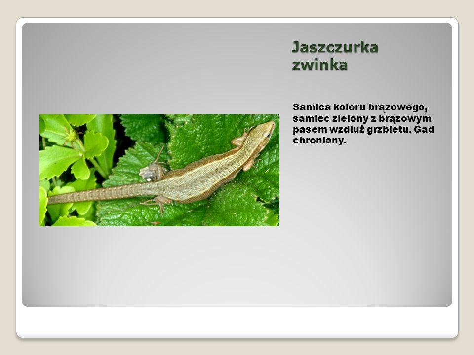 Jaszczurka zwinka Samica koloru brązowego, samiec zielony z brązowym pasem wzdłuż grzbietu. Gad chroniony.
