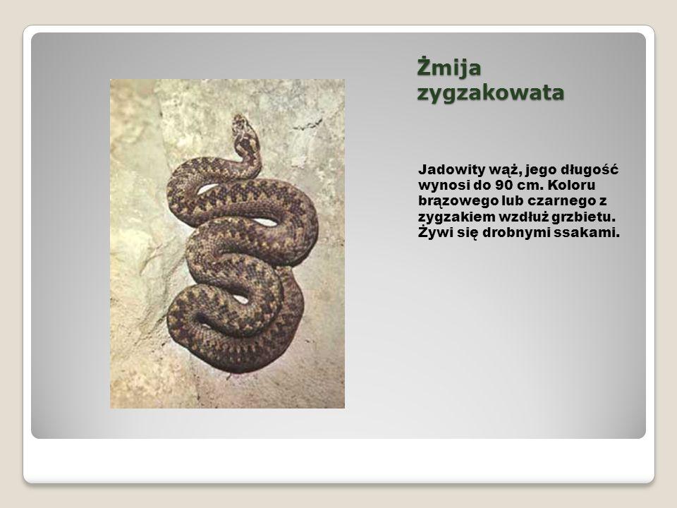 Żmija zygzakowata Jadowity wąż, jego długość wynosi do 90 cm. Koloru brązowego lub czarnego z zygzakiem wzdłuż grzbietu. Żywi się drobnymi ssakami.