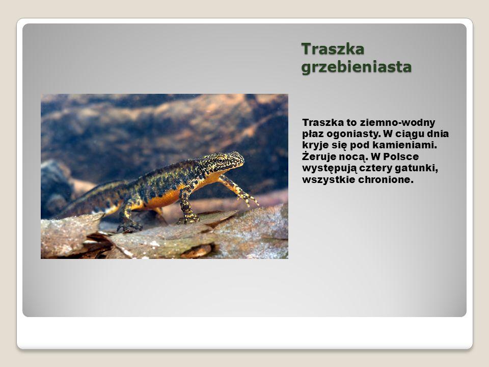 Traszka grzebieniasta Traszka to ziemno-wodny płaz ogoniasty. W ciągu dnia kryje się pod kamieniami. Żeruje nocą. W Polsce występują cztery gatunki, w