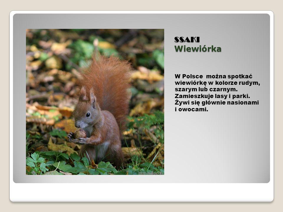 SSAKI Wiewiórka W Polsce można spotkać wiewiórkę w kolorze rudym, szarym lub czarnym. Zamieszkuje lasy i parki. Żywi się głównie nasionami i owocami.