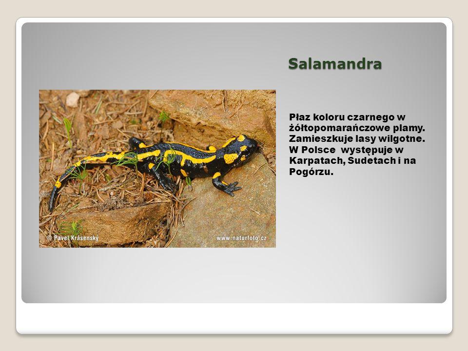 Salamandra Płaz koloru czarnego w żółtopomarańczowe plamy. Zamieszkuje lasy wilgotne. W Polsce występuje w Karpatach, Sudetach i na Pogórzu.