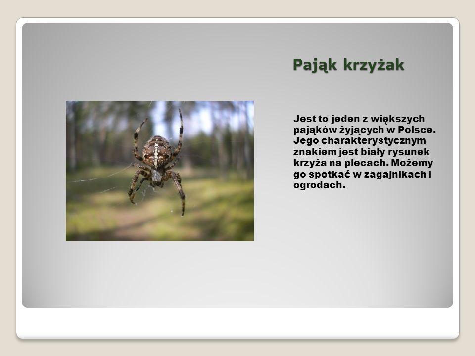 Pająk krzyżak Jest to jeden z większych pająków żyjących w Polsce. Jego charakterystycznym znakiem jest biały rysunek krzyża na plecach. Możemy go spo