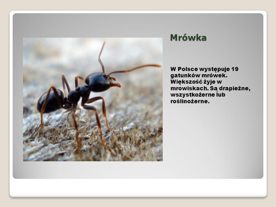 Mrówka W Polsce występuje 19 gatunków mrówek. Większość żyje w mrowiskach. Są drapieżne, wszystkożerne lub roślinożerne.