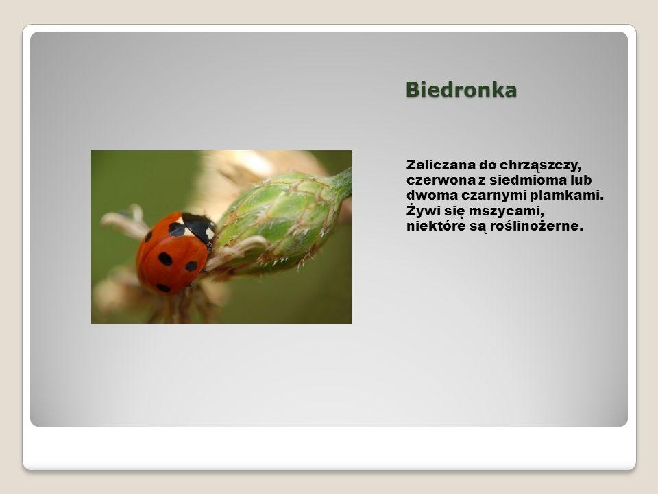 Biedronka Zaliczana do chrząszczy, czerwona z siedmioma lub dwoma czarnymi plamkami. Żywi się mszycami, niektóre są roślinożerne.