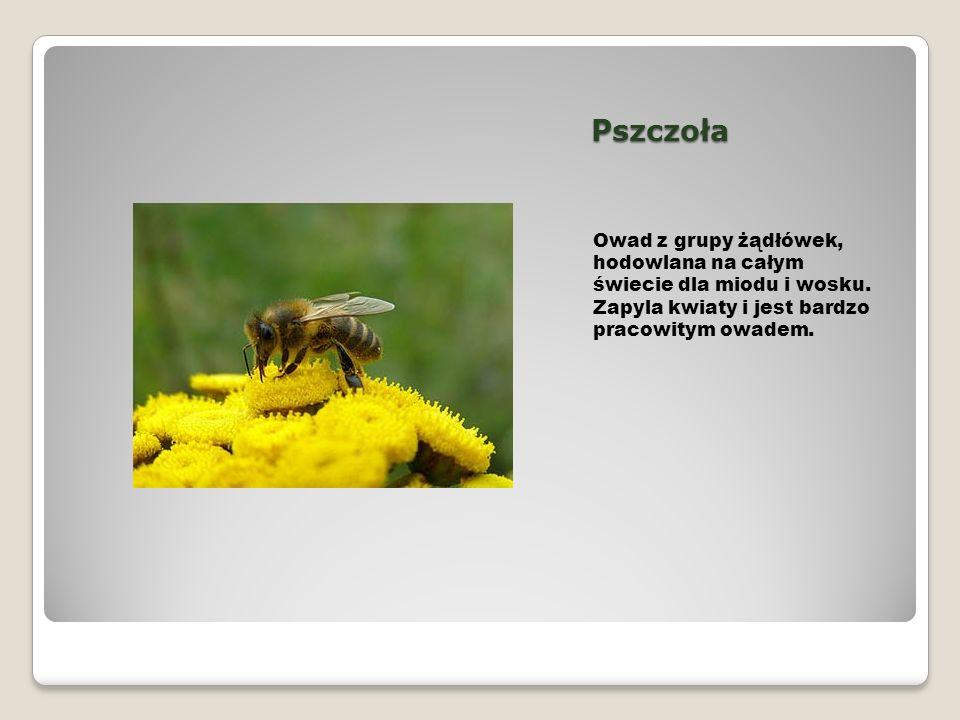 Pszczoła Owad z grupy żądłówek, hodowlana na całym świecie dla miodu i wosku. Zapyla kwiaty i jest bardzo pracowitym owadem.
