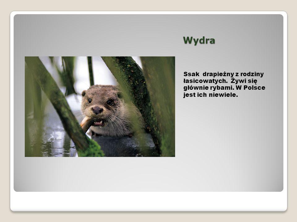Wydra Ssak drapieżny z rodziny łasicowatych. Żywi się głównie rybami. W Polsce jest ich niewiele.