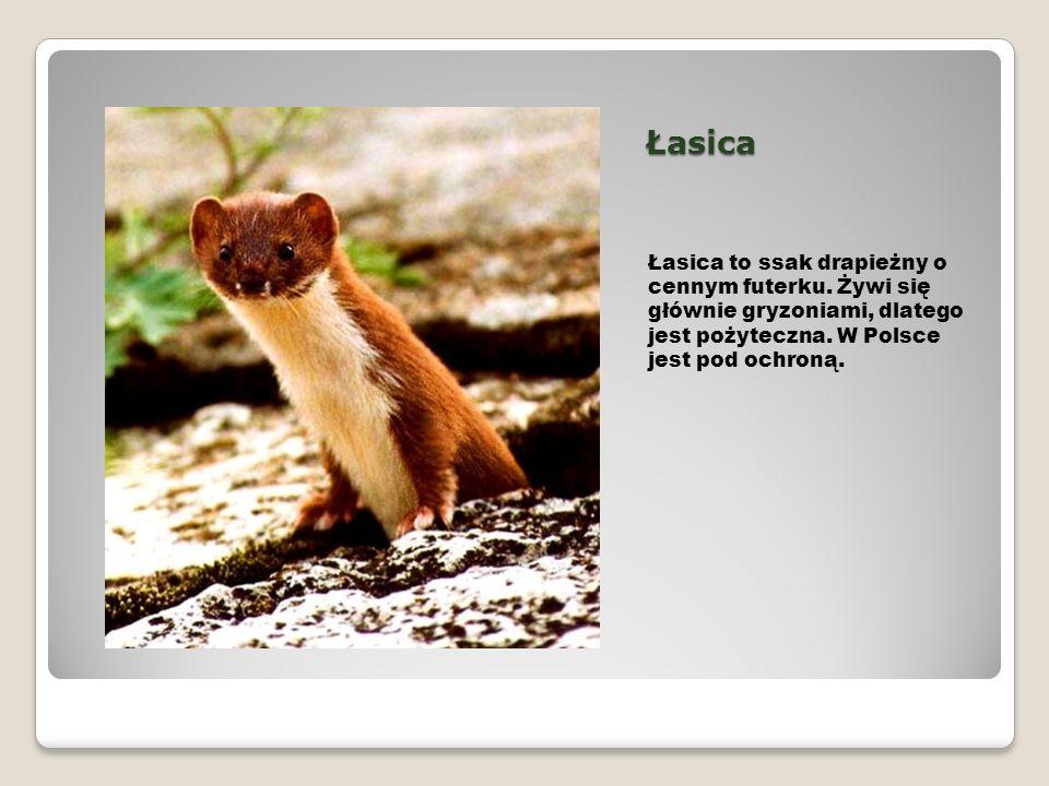 Łasica Łasica to ssak drapieżny o cennym futerku. Żywi się głównie gryzoniami, dlatego jest pożyteczna. W Polsce jest pod ochroną.