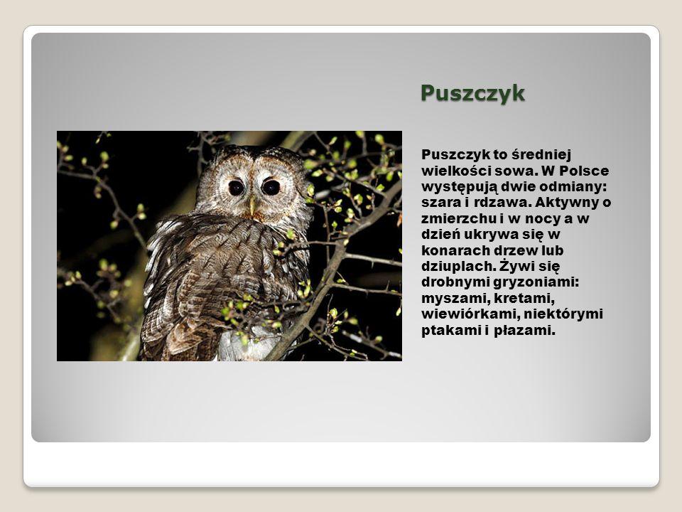 Puszczyk Puszczyk to średniej wielkości sowa. W Polsce występują dwie odmiany: szara i rdzawa. Aktywny o zmierzchu i w nocy a w dzień ukrywa się w kon