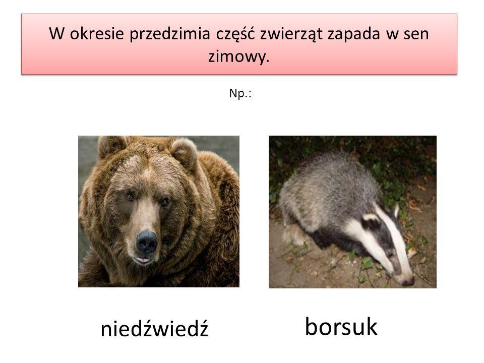 W okresie przedzimia część zwierząt zapada w sen zimowy. niedźwiedź borsuk Np.:
