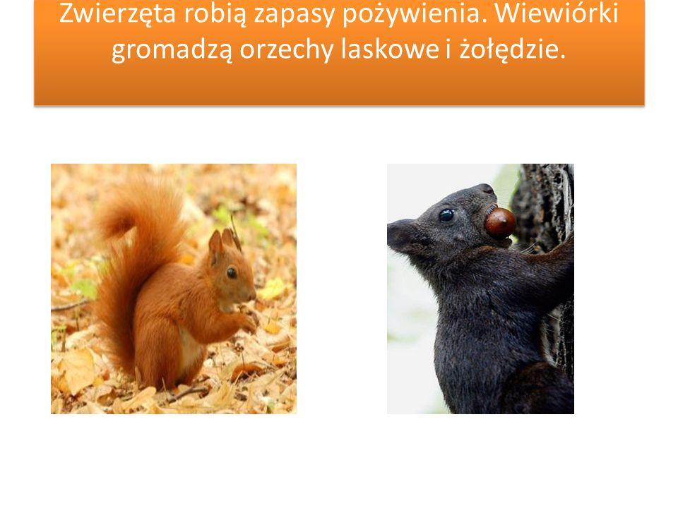 Zwierzęta robią zapasy pożywienia. Wiewiórki gromadzą orzechy laskowe i żołędzie.