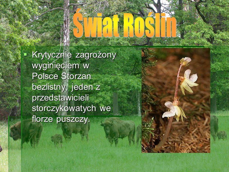 Krytycznie zagrożony wyginięciem w Polsce Storzan bezlistny, jeden z przedstawicieli storczykowatych we florze puszczy. Krytycznie zagrożony wyginięci