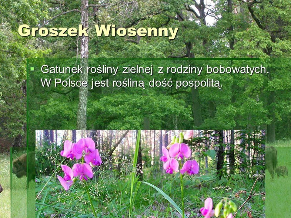 Groszek Wiosenny Groszek Wiosenny Gatunek rośliny zielnej z rodziny bobowatych. W Polsce jest rośliną dość pospolitą. Gatunek rośliny zielnej z rodzin
