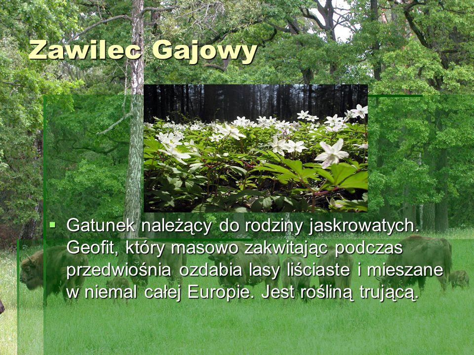 Zawilec Gajowy Zawilec Gajowy Gatunek należący do rodziny jaskrowatych. Geofit, który masowo zakwitając podczas przedwiośnia ozdabia lasy liściaste i