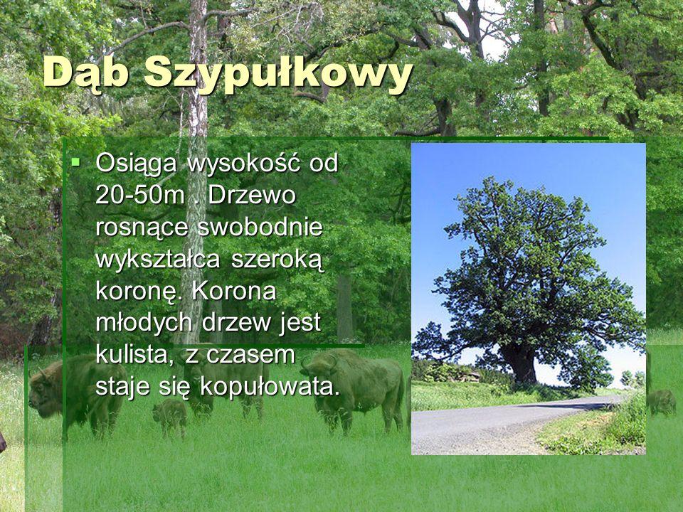 Dąb Szypułkowy Osiąga wysokość od 20-50m. Drzewo rosnące swobodnie wykształca szeroką koronę. Korona młodych drzew jest kulista, z czasem staje się ko
