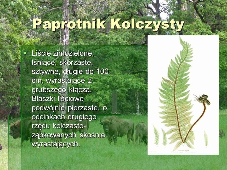 Paprotnik Kolczysty Liście zimozielone, lśniące, skórzaste, sztywne, długie do 100 cm, wyrastające z grubszego kłącza. Blaszki liściowe podwójnie pier