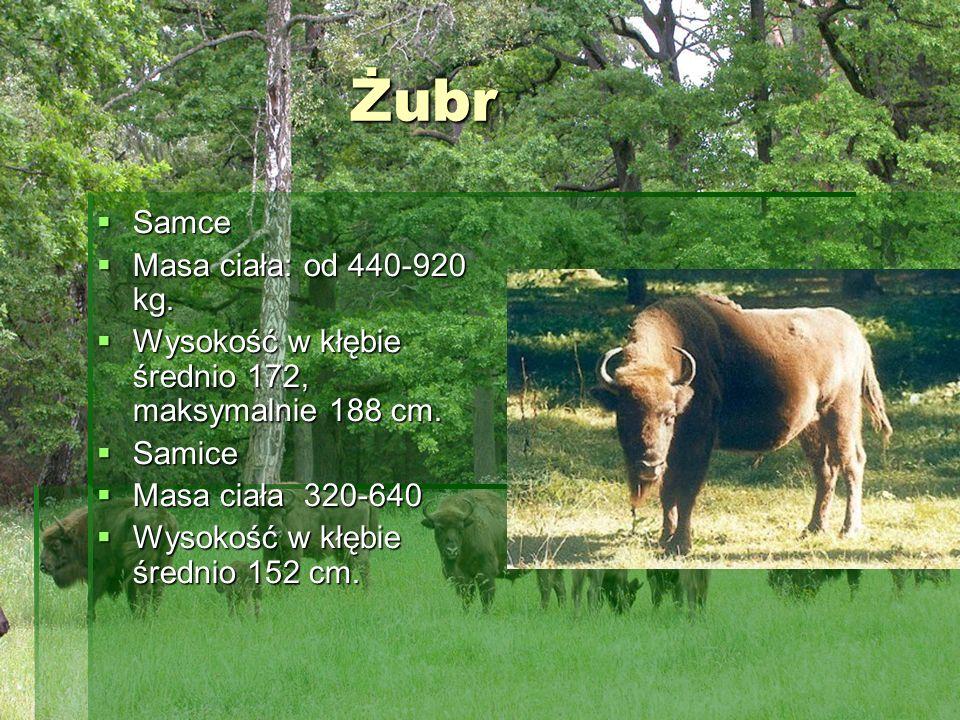 Żubr Żubr Samce Samce Masa ciała: od 440-920 kg. Masa ciała: od 440-920 kg. Wysokość w kłębie średnio 172, maksymalnie 188 cm. Wysokość w kłębie średn