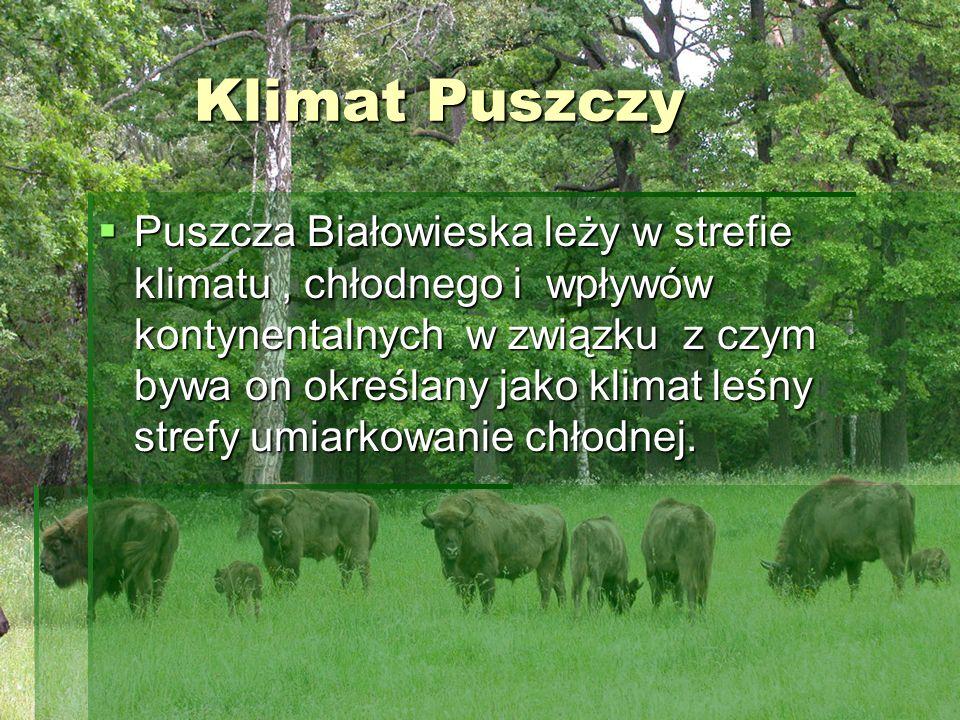 Klimat Puszczy Klimat Puszczy Puszcza Białowieska leży w strefie klimatu, chłodnego i wpływów kontynentalnych w związku z czym bywa on określany jako