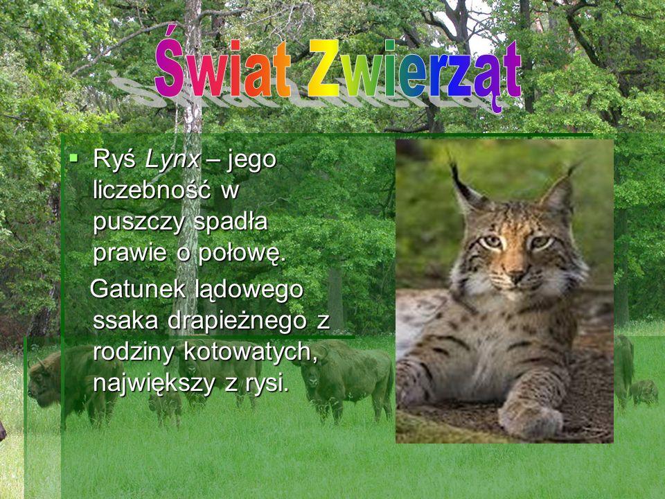 Ryś Lynx – jego liczebność w puszczy spadła prawie o połowę. Ryś Lynx – jego liczebność w puszczy spadła prawie o połowę. Gatunek lądowego ssaka drapi