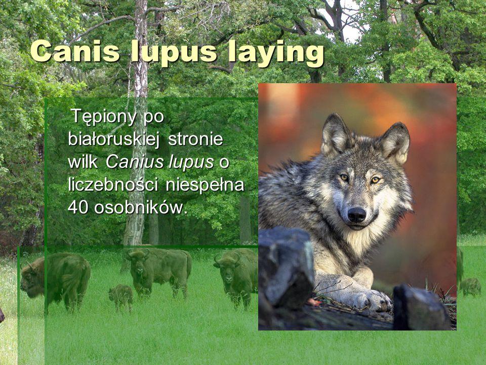 Canis lupus laying Tępiony po białoruskiej stronie wilk Canius lupus o liczebności niespełna 40 osobników.