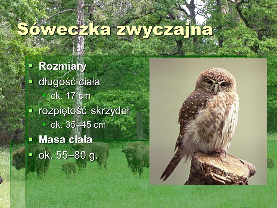 Sóweczka zwyczajna Rozmiary Rozmiary długość ciała długość ciała ok. 17 cm ok. 17 cm rozpiętość skrzydeł rozpiętość skrzydeł ok. 35–45 cm ok. 35–45 cm
