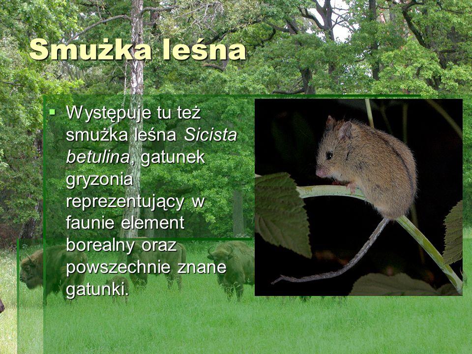 Smużka leśna Występuje tu też smużka leśna Sicista betulina, gatunek gryzonia reprezentujący w faunie element borealny oraz powszechnie znane gatunki.