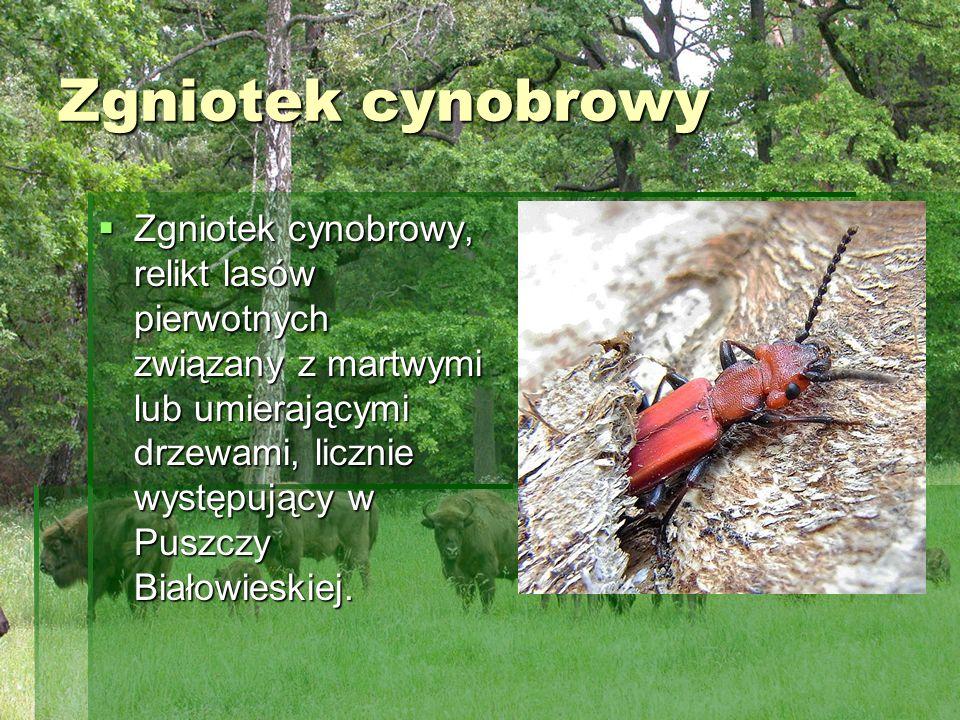 Zgniotek cynobrowy Zgniotek cynobrowy, relikt lasów pierwotnych związany z martwymi lub umierającymi drzewami, licznie występujący w Puszczy Białowies