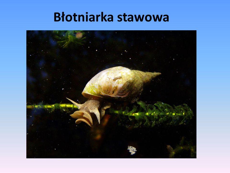 Błotniarka stawowa – gatunek ślimaka z rodziny błotniarkowatych.