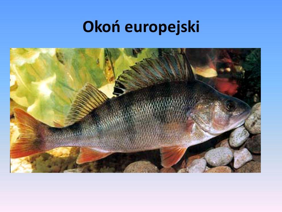 Okoń europejski, okoń – gatunek ryby z rodziny okoniowatych.