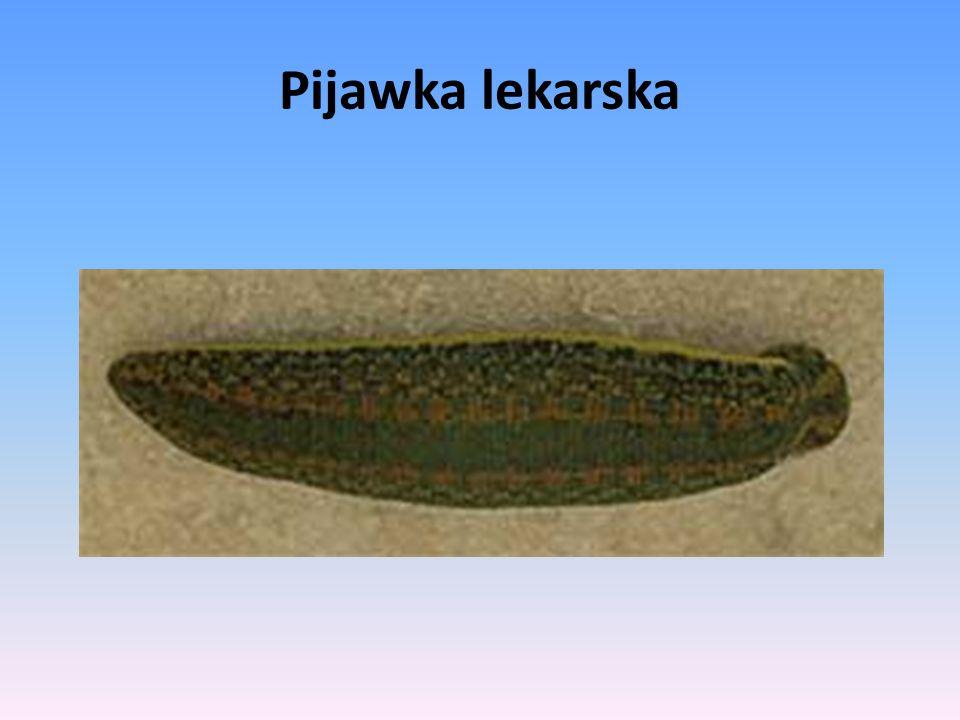Pijawka lekarska - gatunek wodno-lądowych pijawek należących do rzędu Arhynchobdellida.