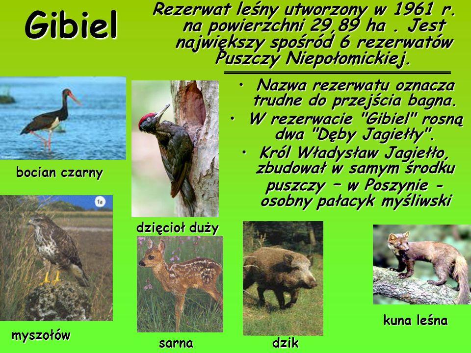 Gibiel Rezerwat leśny utworzony w 1961 r. na powierzchni 29,89 ha. Jest największy spośród 6 rezerwatów Puszczy Niepołomickiej. bocian czarny myszołów