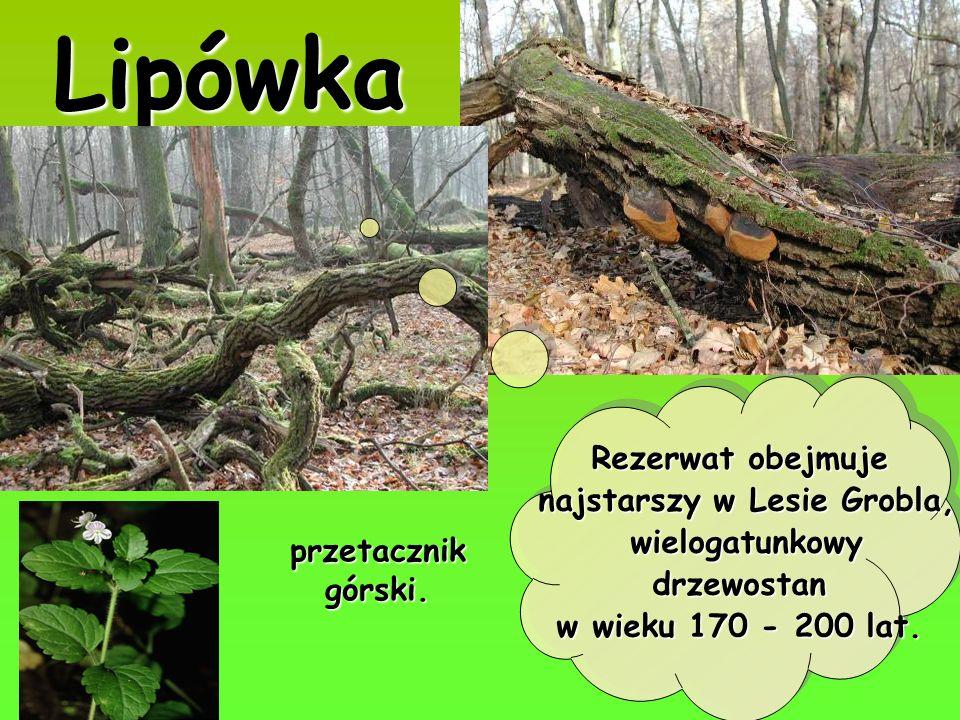 Lipówka Rezerwat obejmuje najstarszy w Lesie Grobla, wielogatunkowy wielogatunkowydrzewostan w wieku 170 - 200 lat. przetacznik górski.